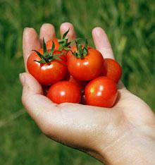 Facile à cultiver, la tomate cerise, au goût bien sucré, est une plante de prédilection pour les enfants.