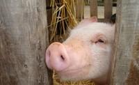Grippe porcine : selon l'OMS, le risque de pandémie est imminent
