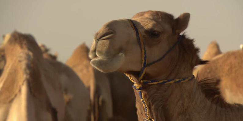L'Arabie Saoudite expulse des milliers de chameaux qataris