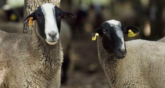 Aïd al-Adha 2018 : le CTMF exprime sa divergence face à la décision d'AVS de ne pas certifier de moutons