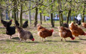 Seul un tiers des œufs produits en France vient de poules élevées en plein air.