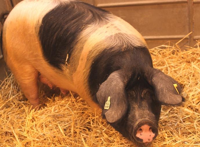 Le porc, symbole de la confrontation entre islam et christianisme