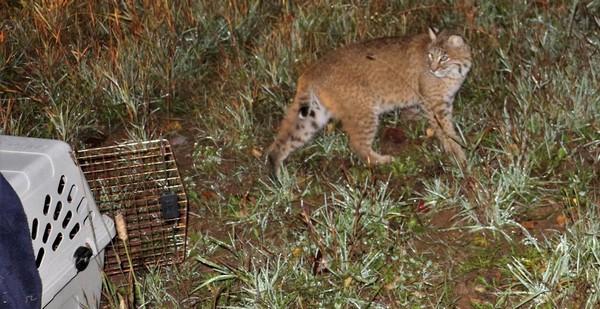 Au Canada, un lynx roux a été relâché fin 2017 par l'Institut Atlantique de la faune après y avoir séjourné pendant près d'un an. © Institut Atlantique de la faune