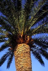 Le palmier dattier