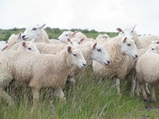 Aïd el-Kébir 2012 : virus détecté, moutons touchés, quel impact sur les prix ?