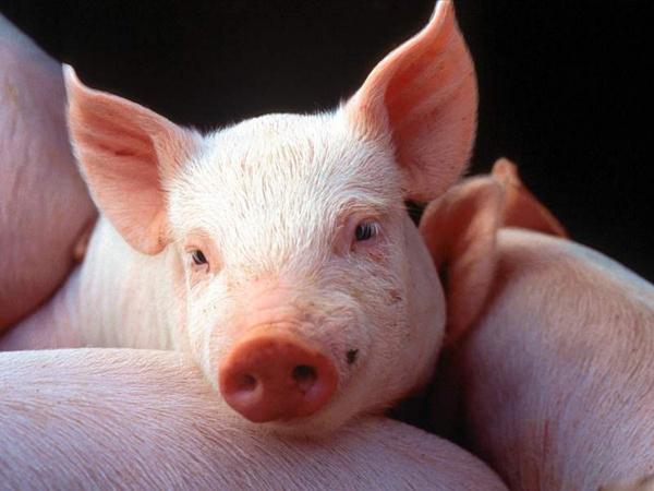 Apprécié ou interdit, le porc revêt divers symboles selon les cultures. En France, en plein climat d'islamophobie décomplexée, il est devenu le symbole de l'identité nationale contre la présence musulmane.