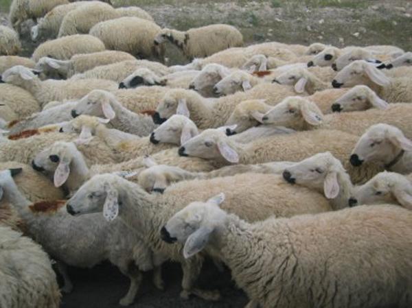 L'Aïd el-Kébir, l'occasion d'offrir le mouton aux plus démunis
