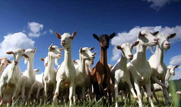 La fable de Si Soughane, des loups, des chèvres et du justicier