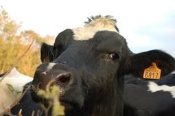 Bilan du Grenelle de l'animal : l'électronarcose écartée, la formation des sacrificateurs renforcée