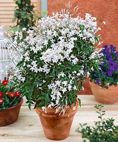 Très parfumé, le jasmin peut s'épanouir en pot ou en jardinière. Son odeur a un effet relaxant.