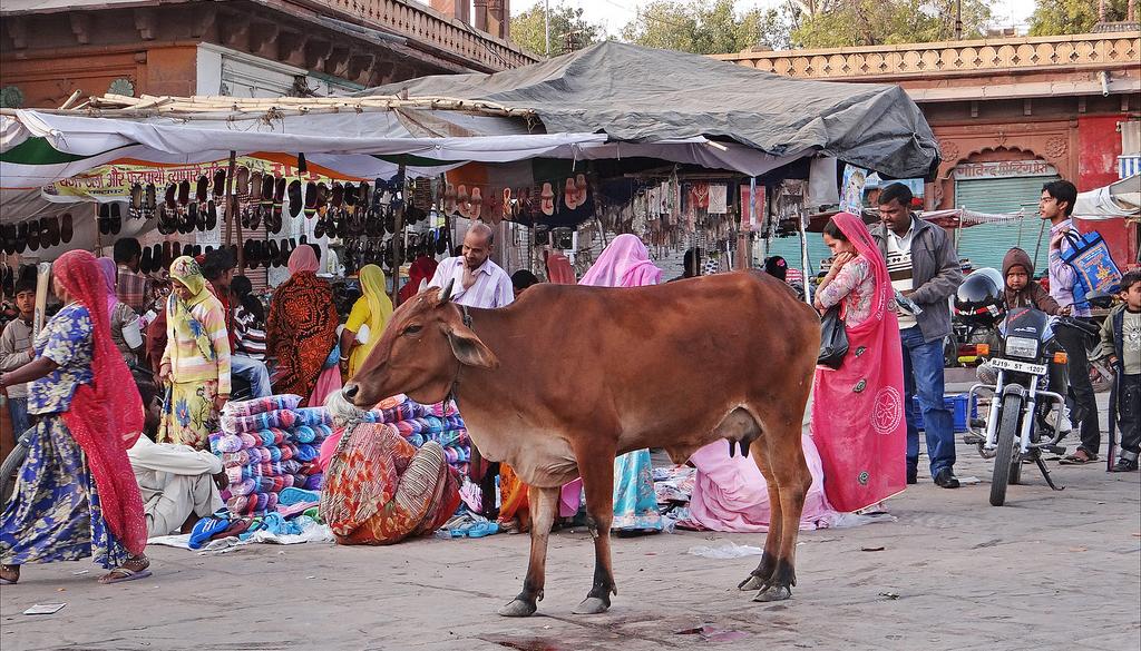 Inde : le culte des vaches à l'origine d'une dramatique montée des violences islamophobes