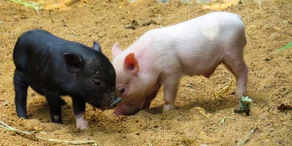 Bientôt des porcs destinés à être donneurs d'organes pour l'homme ?