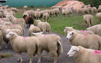 Un tampon « Aïd al-Adha » sur les moutons ?