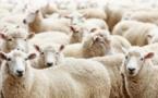 Aïd al-Adha 2018 : pourquoi AVS ne certifiera pas de moutons halal cette année (vidéo)