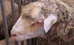 Les musulmans de France, un marché pour la filière ovine... et de futurs exploitants agricoles ?