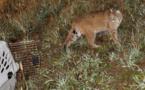 Préserver la biodiversité : plaidoyer contre le relâcher dogmatique des animaux dans la nature