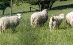 Aïd el-Kébir : des moutons aux prix qui donnent le tournis