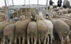 Aïd el-Kébir 2013 : toujours plus d'obligations pour les abattoirs