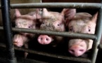 Ces cochons halal qui mettent des musulmans en émoi
