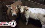 Abattoir d'Alès : le maire accuse l'abattage rituel halal