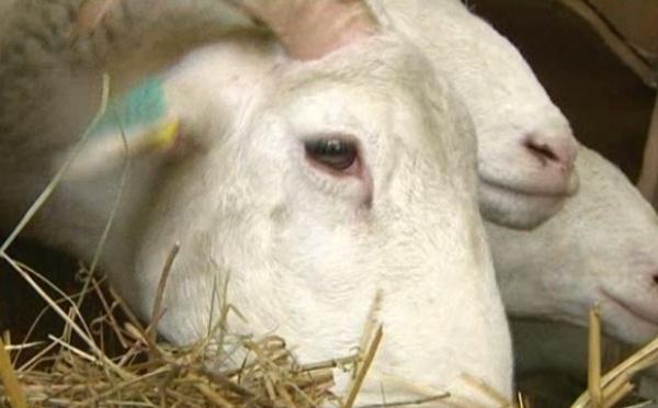 Le mouton : Pâques et l'Aïd à la rescousse d'une filière en crise