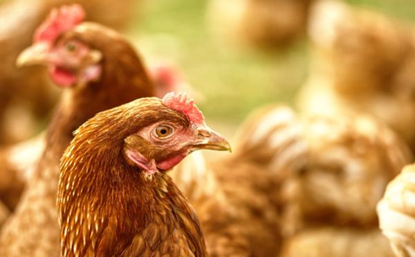 L'abattage rituel halal des volailles bientôt interdit en France, qu'en est-il ? Le vrai du faux démêlé