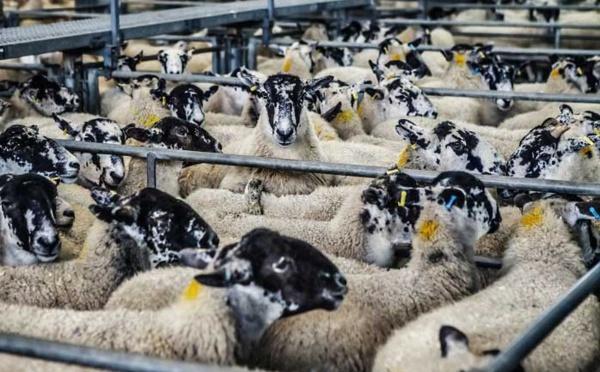 Aïd al-Adha 2021 : combien d'abattoirs agréés cette année en France ?