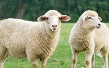 Aïd al-Adha 2019 : AVS certifie de nouveau des moutons halal